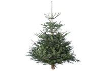 kerstboom nordmann gezaagd 150 175 cm