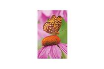 zonnehoed echinacea