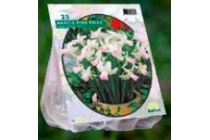 mini narcissen pink pride