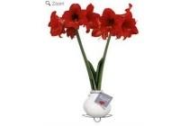 amaryllis kolibri mini rood bloeiend