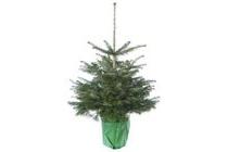 kerstboom nordmann in pot 75 100 cm