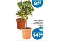 citrusboom