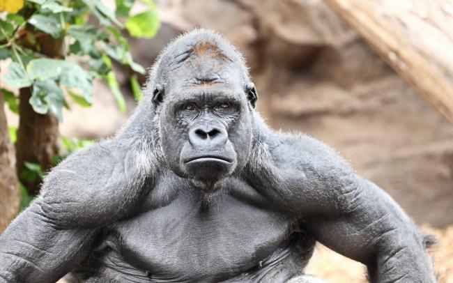 Hoe de 'gorilla' u helpt bij een presentatie of interview