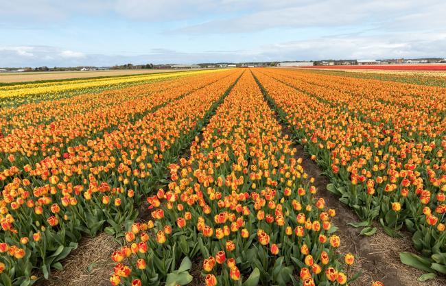 In het Noorden van de provincie Zuid-Holland ligt de kleine gemeente Hillegom.