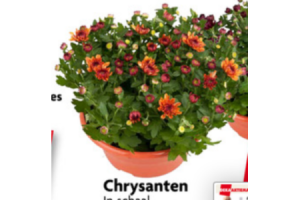 chrysanten