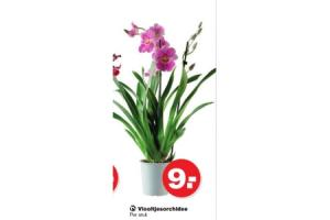 viooltjesorchidee