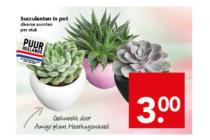 succulenten in pot