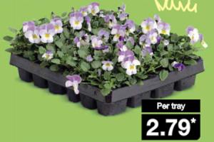 viooltjes of perkplanten