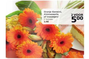 oranje germini alstroemeria of trosanjers