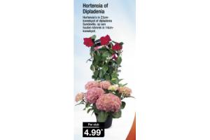 hortensia of dipladenia