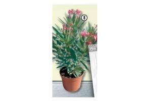 nerium oleander tricolour