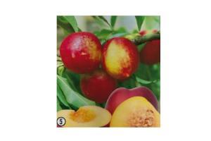 prunus persica nucipersica