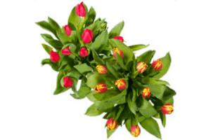 c1000 tulpen