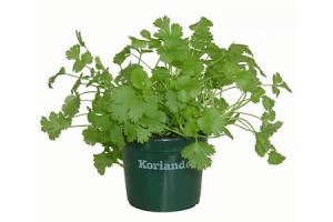 koriander pot