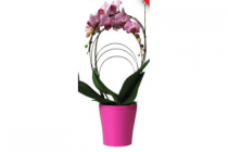 vlinderorchidee in keramieken pot