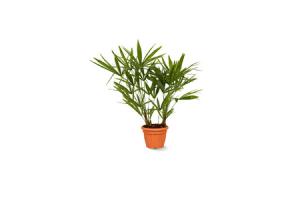 palm trachycarpus
