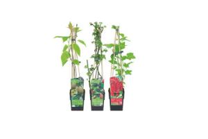 zomerfruitplanten