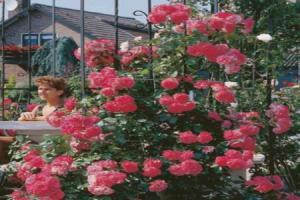 klimroos rosa