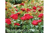 bodembedekkende roos