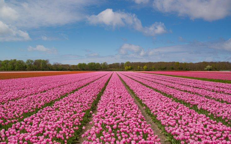 Tulips in the Netherlands - March to May